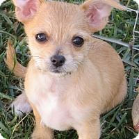 Adopt A Pet :: Maple - La Habra Heights, CA