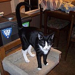 Photo 1 - Domestic Shorthair Cat for adoption in Kelso/Longview, Washington - Ellie