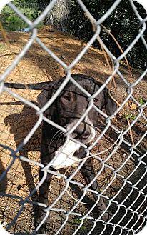 Labrador Retriever/Border Collie Mix Dog for adoption in Camilla, Georgia - Camille