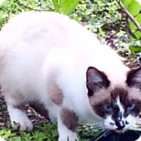 Siamese Cat for adoption in Austin, Texas - Simone III