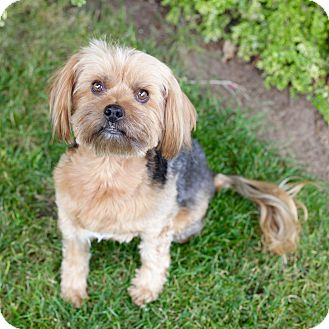 Liberty | Adopted Dog | West Linn, OR | Lhasa Apso/Yorkie ...