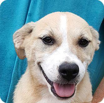 Australian Shepherd/Labrador Retriever Mix Puppy for adoption in Colonial Heights, Virginia - Vera Fang