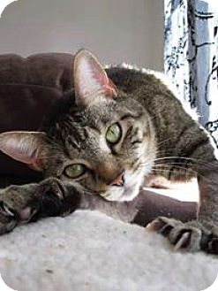 Domestic Shorthair Cat for adoption in Hampton, Virginia - Tink (Courtesy Listing)