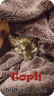 Domestic Shorthair Kitten for adoption in Chandler, Arizona - Toph