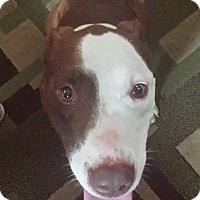 American Pit Bull Terrier/American Staffordshire Terrier Mix Dog for adoption in Milford, Connecticut - Benny