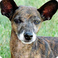 Italian Greyhound/Miniature Pinscher Mix Dog for adoption in Hagerstown, Maryland - GIGI