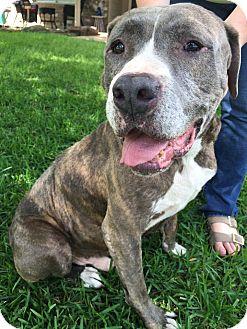 Mastiff/Pit Bull Terrier Mix Dog for adoption in Boston, Massachusetts - A - CHARLIE