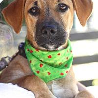 Hound (Unknown Type)/Shepherd (Unknown Type) Mix Puppy for adoption in West Grove, Pennsylvania - Gretel