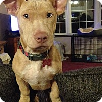 American Staffordshire Terrier/Basset Hound Mix Dog for adoption in Mount Laurel, New Jersey - Blondie