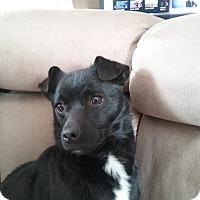 Adopt A Pet :: Oreo - Lima, PA