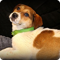 Adopt A Pet :: Colt - Glastonbury, CT
