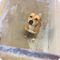 Adopt A Pet :: Sonia - Harrisville, RI