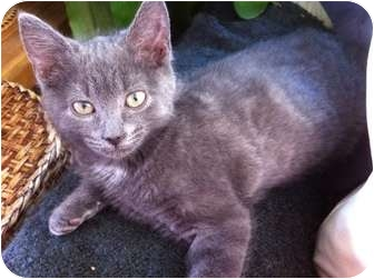 Domestic Shorthair Kitten for adoption in Montreal, Quebec - Sidney