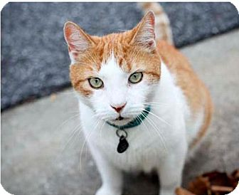 Domestic Shorthair Cat for adoption in Columbia, Maryland - Stray Cat