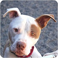 Pit Bull Terrier Mix Dog for adoption in Petaluma, California - Ace
