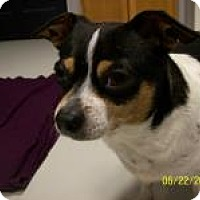 Chihuahua/Rat Terrier Mix Dog for adoption in Hartford, Kentucky - MiMi SPONSORED