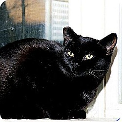 Photo 4 - Domestic Shorthair Cat for adoption in Whitewater, Wisconsin - Ebony