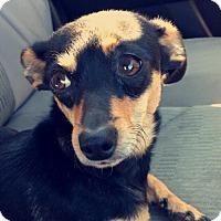 Adopt A Pet :: Roxie - Northern California - Woonsocket, RI