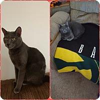 Adopt A Pet :: Pickles & Grey Grey - Courtesy - Sparta, NJ
