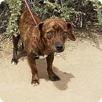 Adopt A Pet :: Darling Diana the Mini Doxie - Albuquerque, NM