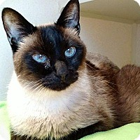 Siamese Cat for adoption in Denver, Colorado - Pharroh