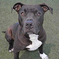 American Pit Bull Terrier Mix Dog for adoption in Lincoln, California - Buddah