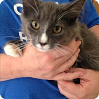 Domestic Mediumhair Kitten for adoption in Middletown, New York - Baxter