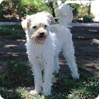 Poodle (Miniature)/Terrier (Unknown Type, Small) Mix Dog for adoption in Lathrop, California - Sage