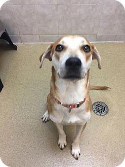 Labrador Retriever Mix Dog for adoption in Miami, Florida - Roscoe