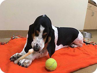 Basset Hound Dog for adoption in Whittier, California - Max
