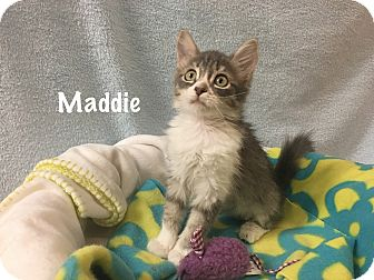 Domestic Mediumhair Kitten for adoption in Foothill Ranch, California - Maddie