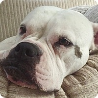 American Bulldog Dog for adoption in Houston, Texas - Moxxi