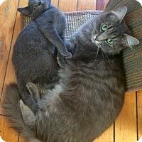 Domestic Longhair Cat for adoption in Lunenburg, Massachusetts - Sky & Sky #5