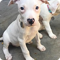 Pit Bull Terrier Puppy for adoption in Los Angeles, California - Lady