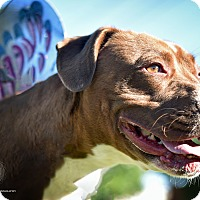 Adopt A Pet :: Sienna - St. Louis, MO