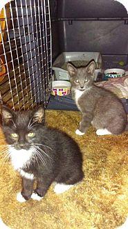 Domestic Mediumhair Kitten for adoption in Bonney Lake, Washington - Kittens Available