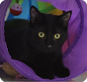 Domestic Shorthair Kitten for adoption in Naperville, Illinois - Laverne-5 MONTHS