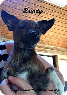 Chihuahua Dog for adoption in Denison, Texas - Brindy