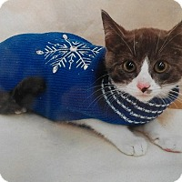 Domestic Shorthair Kitten for adoption in Northfield, Ohio - King