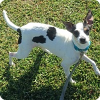 Rat Terrier Dog for adoption in Babson Park, Florida - Mouse