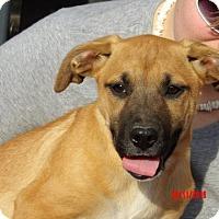Adopt A Pet :: Tallula (14 lb) Pretty Pup! - Williamsport, MD