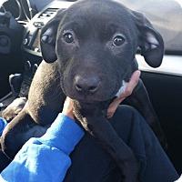 Adopt A Pet :: Sissy - Reno, NV