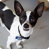 Adopt A Pet :: Osanna - Canyon Country, CA