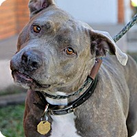 American Bulldog/American Staffordshire Terrier Mix Dog for adoption in Billings, Montana - Stella