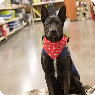 Cattle Dog/Shepherd (Unknown Type) Mix Dog for adoption in Frisco, Texas - Bear