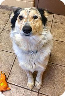 Australian Shepherd/Australian Cattle Dog Mix Dog for adoption in Joplin, Missouri - Quinn 5530