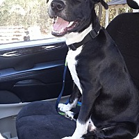 Cattle Dog/Staffordshire Bull Terrier Mix Puppy for adoption in Snow Hill, North Carolina - Cal-NEW LEASH ON LIFE