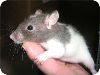 Rat for adoption in Cincinnati, Ohio - Smitzy