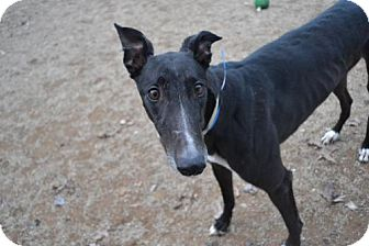 Greyhound Dog for adoption in Chagrin Falls, Ohio - Dash (Dine N Dash)