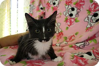 Domestic Shorthair Kitten for adoption in Fountain Hills, Arizona - GOLIATH
